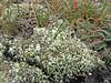 Cladonia subcervicornis (Philip_Goddard) Tags: cladonia subcervicornis lichens squamules cushion foliose terricolous southwestengland england unitedkingdom britain british britishisles greatbritain uk europe