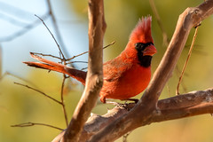 Crazy Eye (Eeyore Photography) Tags: robertjacksonphotography wildlife winter bird nikkor200500mmf56 nikkor nikond750 cardinal nikon