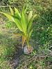 Coconut Palm seedling 20180115 (Kenneth Cole Schneider) Tags: florida miramar westmiramarwca