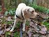 Gracie ready for action (walneylad) Tags: gracie dog canine pet puppy lab labrador labradorretriever cute january winter morning westlynn