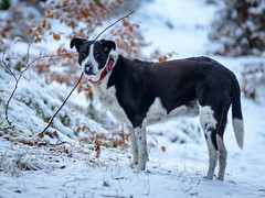 Zac has a cold wet nose (grahamrobb888) Tags: nikon nikond800 d800 nikkor afnikkor80200mm128ed perthshire pet zac dog nose snowwoods snow forest footpath birnamwood woods winter