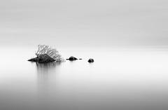 Hanging onto Life (John Holmes (DAJH51)) Tags: garrykennedy loughderg tipperary blackandwhite calm lake longexposure mininal plant rocks