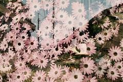 あの海沿いの白い長ぐつ (Kana Sasamoto) Tags: photo photography film filmphotography 35mm 35mmphotography multipleexposure doubleexposure flowers flower