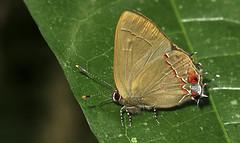 Ziegleria ceromia? (hippobosca) Tags: butterfly lepidoptera insect peru macro ziegleriaceromia lycaenidae hairstreak