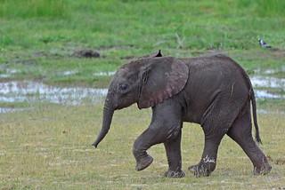 Sweet Little Elephant Calf - 0803b+
