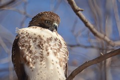 Red-tailed Hawk (JDA-Wildlife) Tags: birds birdsofprey raptors hawks hawkredtailed redtailedhawk nikon nikond7100 tamronsp150600mmf563divc jdawildlife johnny portrait eyecontact closeup whatbirdbestofday composition gorgeous