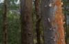 Angophora leiocarpa (dustaway) Tags: myrtaceae angophoraleiocarpa bark trunks