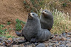 New Zealand Fur Seal - Arctocephalus forsteri - Dunedin, New Zealand (arnaud.badiane) Tags: new zealand fur seal arctocephalus forsteri dunedin nature marine mammals animal wildlife sea