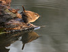 Wren. (dave harrison143) Tags: wren reflection