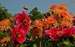 Wünsche allen ein schönes Wochenende! -I wish all of you a nice weekend! (fleckchen) Tags: dahlien dahlie dahlia dahlienblüten dahlienblüte korbblütler zierpflanzen pflanzen blumen blüten staudenpflanze knollenpflanze flower blooms blumenblüten