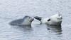Harbour seal - Phoca vitulina - Landselur (*Jonina*) Tags: iceland ísland stodvarfjordur stöðvarfjörður wildanimals villtdýr mammals spendýr phocavitulina harbourseal landselur jónínaguðrúnóskarsdóttir