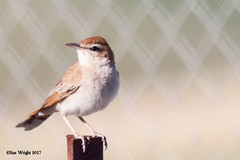 Rufous-tailed Scrub-Robin 20170508 3 (SueWright2013) Tags: animals birds flycatchers oldworldflycatchers rufoustailedscrubrobin