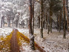 Pinar cerca de Fuente Dorada (lgonzaloro) Tags: pine tree forest green landscape nature background view park mountain cone evergreen summer natural travel season outdoor outdoors environment morning scenery woods needle beautiful branch burgos spain snow cold