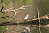 IMG_3673 (TMM Cotter) Tags: common merganser mergus americanus duck female bird arbutus park gorge waterway victoria bc log standing