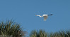 Above the Palms - HWW (11Jewels) Tags: canon 70300 greategret myakkariverstatepark sarasotafl florida wingwednesday