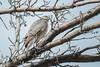Sharp-shinned Hawk (Accipiter striatus) (byjcb) Tags: hawk birds reno nevada unitedstates us