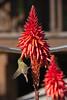 Chiffchaff_Flower (hawaza) Tags: bird birds chiffchaff flower flying wings riaformosa algarve portugal actionshot
