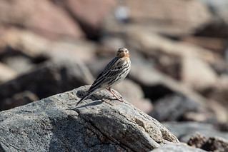 Red-throated Pipit at Mirbat S24A6688