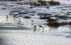 20171014_39 Sand Pipers Carlin Park Jupiter Palm Beach County FL USA (FRABJOUS DAZE - PHOTO BLOG) Tags: usa yhdysvallat america northamerica amerikka florida fl fla southflorida sunshinestate palmbeachcounty pbc jupiter carlinpark park beach sandbeach atlantic ocean waves water atlantti valtameri meri vesi ranta hiekkaranta uimaranta sandpiper piper lintu bird