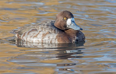JWL6375  Scaup... (jefflack Wildlife&Nature) Tags: scaup greaterscaup avian animal animals wildlife waterbirds wetlands waterfowl waterways water ducks duck lakes ponds estuaries estuary countryside nature ngc npc birds wildbirds