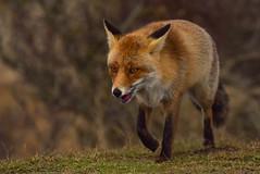 fox (moniquedoon) Tags: fox foxes vos vossen mammals wildlife wildlifephotography wildlifephoto nature naturephotography natureisbeautiful natureperfection
