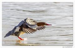 Et voilà Mme Harle bièvre ! (C. OTTIE et J-Y KERMORVANT) Tags: nature animaux oiseaux canard canardplongeur harle harlebièvre rhin alsace france