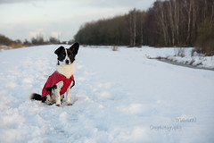 Among the snow (MelissaW Dog Photography) Tags: penny corgi mix dog walk pet sweet cute friend black white fur grass het twiske training nikon d5200 tamron 1750 28 nonvc ruffwear webmaster harness red focus walking loyal sky non vc tree park forest winter snow ice cold aira raincoat december