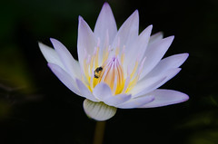lotus flower close up (wijuk) Tags: aquatic background beautiful beauty blooming blossom blue closeup color flora flower green lily lotus macro natural nature plant pond single summer water waterlily white yellow