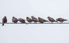Birds on the Wire. (nickinthegarden) Tags: graycrownedrosyfinch sumasprairie abbotsfordbccanada