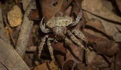 Dolophones (dustaway) Tags: arthropoda arachnida araneae araneomorphae araneidae araneinae dolophones wraparoundspider australianspiders clagiraba sequeensland queensland australia coomeravalley