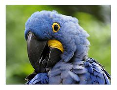 perroquet (tysa51) Tags: bleu perroquet oiseau ara plume bec exotique