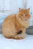 Red 2 (Ihor Hlukhoi - intui.pro) Tags: cat cats animal nature garden winter snow redcat photo photographer intuipro d3000 nikon