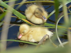 Cuteness asleep on the water (PsJeremy - back and catching up...) Tags: richmond duck duckling