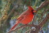 Mr. Poser! (ineedathis, Everyday I get up, it's a great day!) Tags: red cardinal northamericanbird cardinaliscardinalis bird avian male weepingatlascedar needles garden nature eyes winter beak feathers ornamentaltree black closeup zoom nikond750 tree branch green hff tuft crest