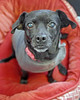 Mia 2  (3) (AbbyB.) Tags: dog canine shelter pet rescue adopt dachshund mtpleasantanimalshelter easthanovernj newjersey shelterpet petphotography