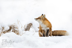 Red Fox (J.Hunter Photography) Tags: fox nature wildlife alaska