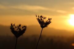 Queen Anne's Lace (dsgetch) Tags: queenanneslace skinnerbutte skinnerbuttepark sunset oregonsunset eugene eugeneoregon eugenespringfield pacificnorthwest pnw pnwlife flowers flower silhouette willamettevalley lanecounty
