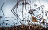 Rouge-gorge (matthew0310851) Tags: rougegorge oiseaux observation nature bourgoyenossemersen gant flandres belgique marais eau parc naturel ornithologie