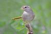 Olive Sparrow (Alan Gutsell) Tags: birds birding wildlife nature southtexasbirds texas texasbirds usa alan photo canon olive sparrow olivesparrow emberizine songbird migration