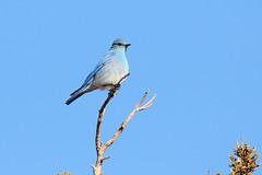 Mountain Bluebird (9630) (Bob Walker (NM)) Tags: bird mountainbluebird sialiacurrucoides mobl bluebird perching whiterock newmexico usa