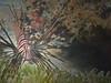 Lionfish (Jwaan) Tags: lionfish poisonous feathers spikes stripes fish underwater bvi britishvirginislands caribbean west indies