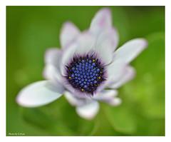 Looking down. (Graham Pym) Tags: nikon flora petals blue white pollen astroflores
