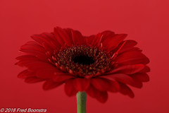 """Lady in Red"" (Fred / Canon 70D) Tags: gerbera red flowers canon canon70d canoneos elinchromgoldumbrella elinchrom falconeyesskk2150d falconeyes ef100mmf28lmacroisusm closeup eefde macro"