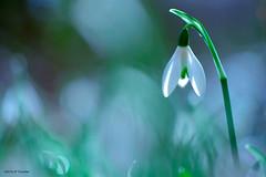Perce-neice (jpto_55) Tags: perceneige fleur bokeh proxi xe1 fuji fujifilm omlens om50mmf2macro hautegaronne france ngc