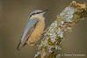 Mirada fija (Dani (Atrus)) Tags: trepadorazul sittaeuropaea nuthatch jdanielfernández elrincóndelosprotegidos españa spain aves birds naturaleza nikon fauna