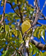 Happy goldfinch (mariposa lily) Tags: bird birds goldfinch goldfinches yellowbird yellowbirds yellow nikon nikond3300 d3300 tree sunshine happybird