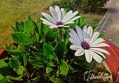 Flores... (MariaTere-7) Tags: flores lima jardín perú maríatere7 onlythebestofflickr mixedflower flickrflorescloseupmacros flowersarebeautiful