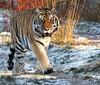 ALEX (babsbaron) Tags: nature tiere animals raubtiere predators katzen cats raubkatzen grosskatzen bigcats jäger hunter säugetiere mammals lüneburg lüneburgerheide wildpark canon