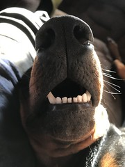 Asleep With His Mouth Open - Dobermann Pinscher Saxon (firehouse.ie) Tags: k9 animal dog sleeping asleep pinscher pinschers dobermans dobermanns doberman dobermann dobeys dobey dobie dobies sobie dobes dobe saxon