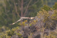 Pueo (Short-eared Owl} (Peter Stahl Photography) Tags: pueo shortearedowl haleakela hunting